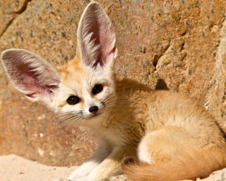 Фенеки — африканские лисички