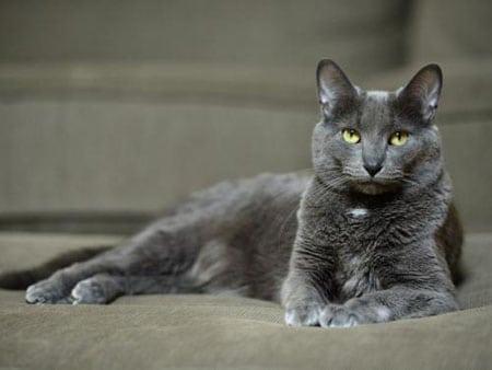 Характерные признаки у домашних кошек при гепатолепидозе