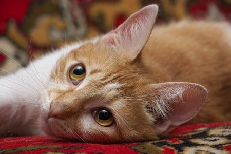 В каком возрасте приобретать котёнка?
