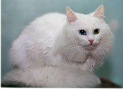 Ваш выбор кошка ангора? История возникновения