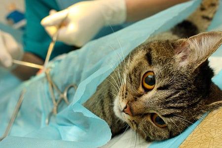 Как стерилизация кошки влияет на ее здоровье