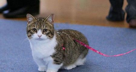 Манчкин кошка описание породы