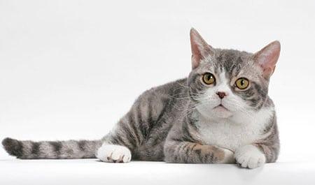 Американская Wirehair Жесткошерстная кошка описание породы