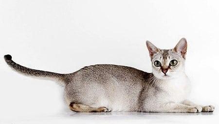 Сингапурская кошка описание породы
