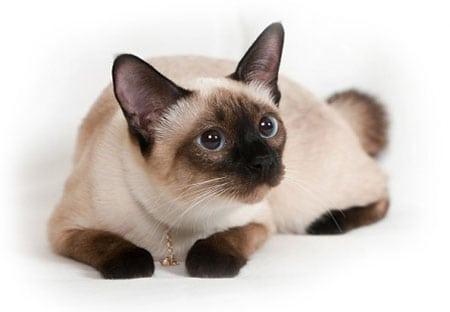 Сиамская Кошка описание породы