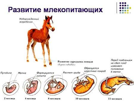 Периоды внутриутробного развития и у млекопитающих