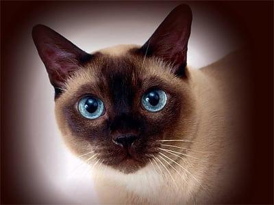 Кошка сиамской породы, знакомьтесь!