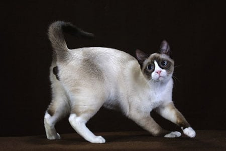 Кошки сноу-шу описание породы