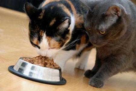 Правильное кормление — основа здоровья кошек