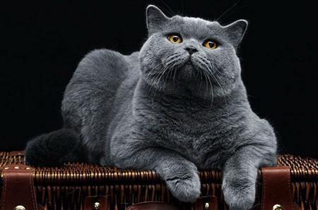 Рекомендации владельцу беременной кошки