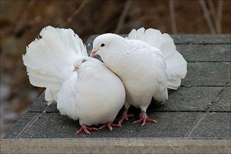 Как правильно выбрать пару для голубя