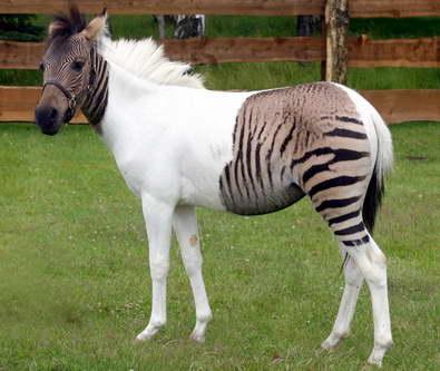 Необычные гибриды животных