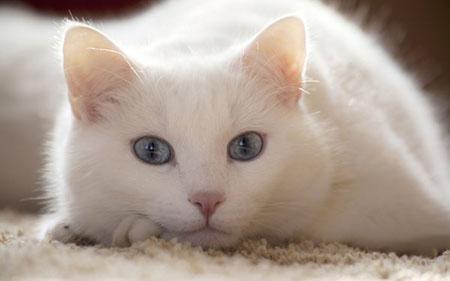 Симптомы запора у кошек